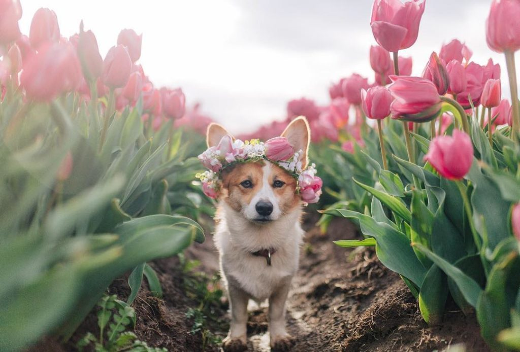 """""""Floral crown on the cutest corgi gal at the Wooden Shoe Tulip Festival."""" #MyCan..."""