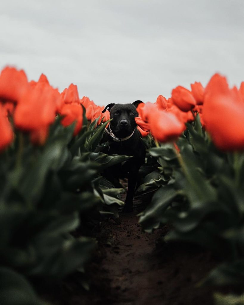 """""""This was our first time at the local tulip festival we had been wanting to go t..."""