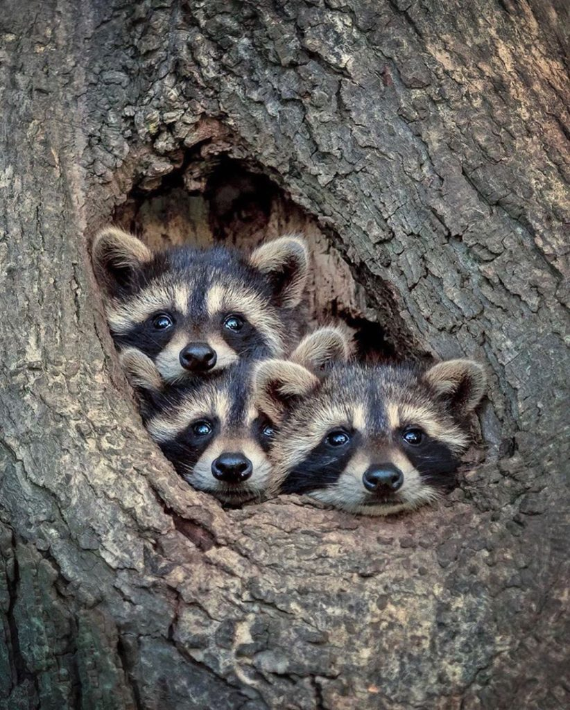 Besides that #raccoons can be really annoying, they also look incredibly cute. W...