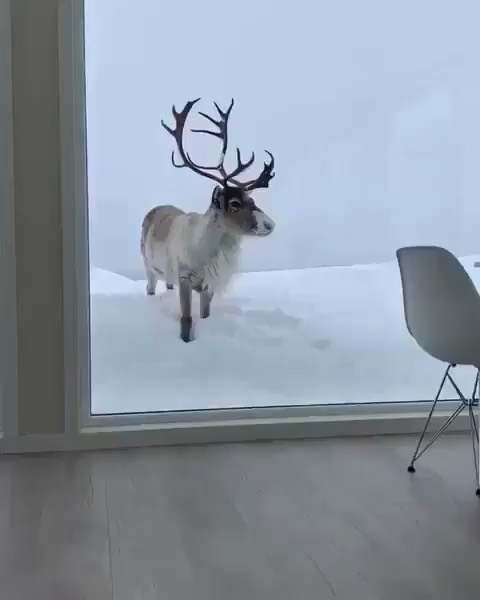 A beautiful reindeer just outside your window! Tag someone that would enjoy stay...