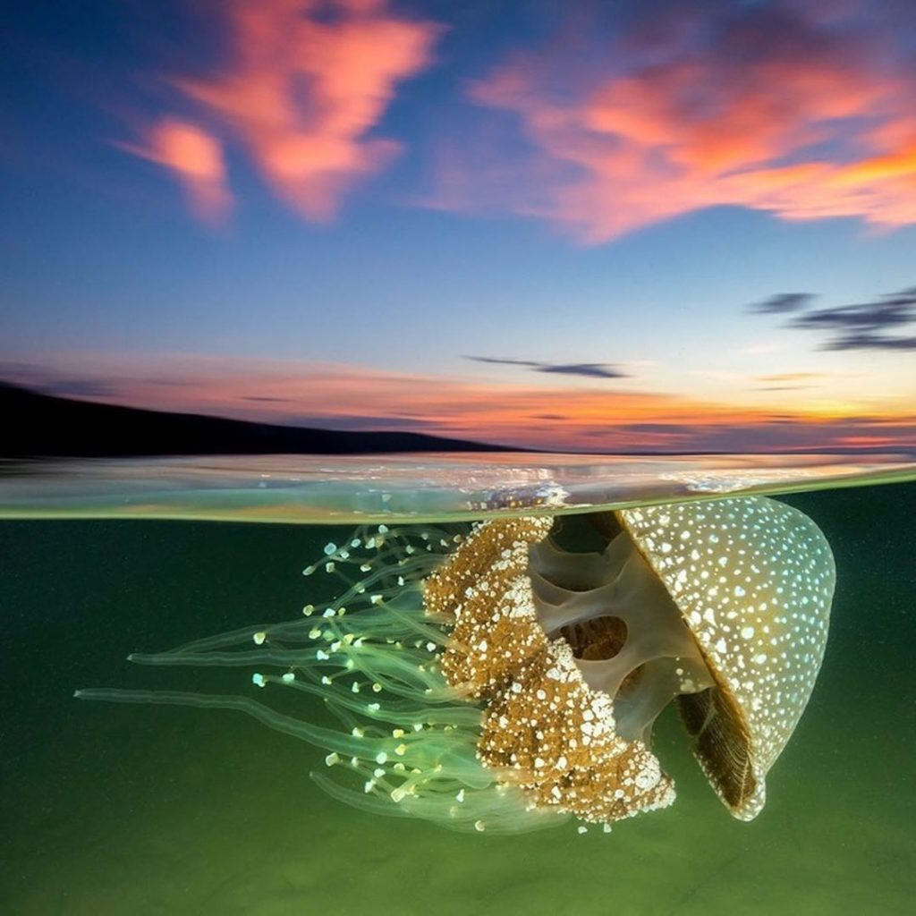 Incredible white jellyfish captured at sunset. Photography | @jordan_robins  Cur...