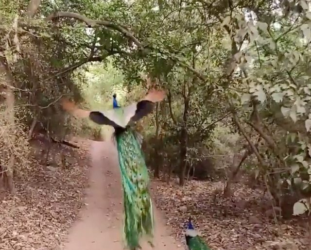 A peacock taking off in slow motion.  Videography | @harsha_narasimhamurthy Cura...